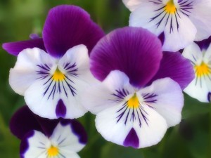 Most-pretty-white-and-purple-flowers