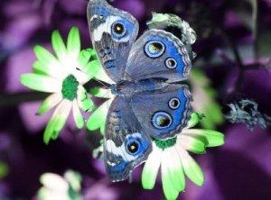 950552-a-beautiful-buckeye-butterfly
