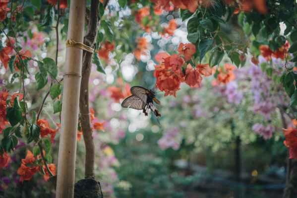 black butterfly preaching on peach flower